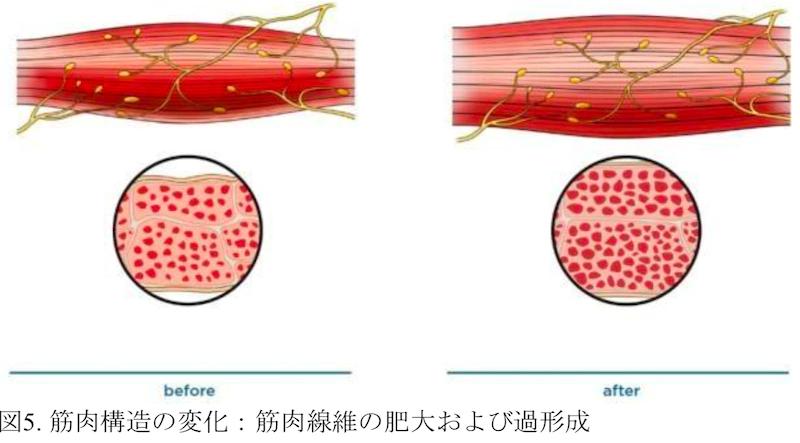筋肉構造の変化 筋肉繊維の肥大及び過形成