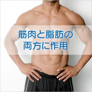 筋肉と脂肪の両方に作用